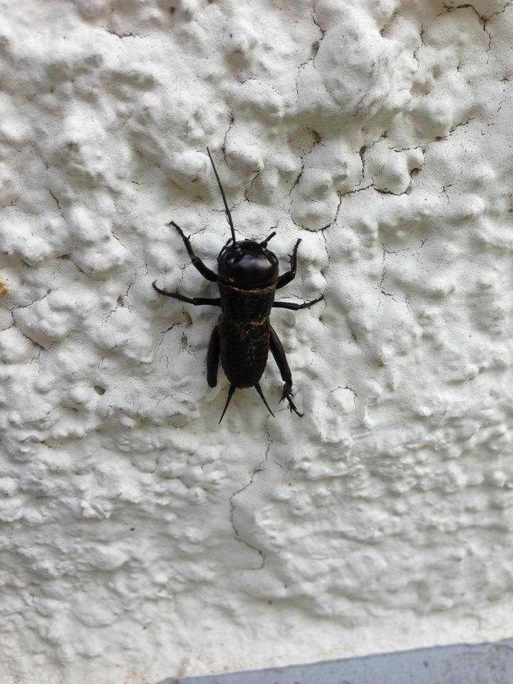 wer kennt dieses schwarze insekt tiere insekten. Black Bedroom Furniture Sets. Home Design Ideas