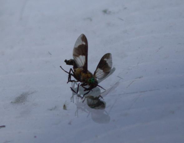 wer kennt dieses stechende insekt insekten klein stechen. Black Bedroom Furniture Sets. Home Design Ideas