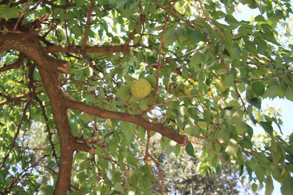 Wer kennt eine solche Frucht/ oder Baum?