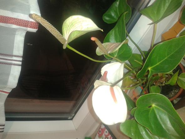 Anthurie - (Pflanzen, Zimmerpflanzen, anthurie)