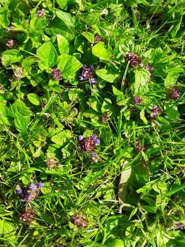 Wer kennt wer kennt diese stark vermehrende Rasen Pflanze?