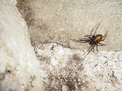 Die Spinne - (Tiere, heimische-spinnen)