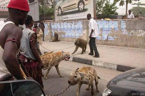 Hyänen als Wachhunde - (Tiere, Menschen, pitbull)