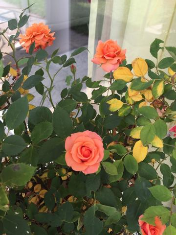 weshalb hat meine rose pl tzlich diese gelben bl tter garten pflanzenpflege rosen. Black Bedroom Furniture Sets. Home Design Ideas
