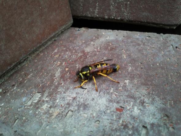 Wespen Ist Das Die Konigin Des Staates Natur Winter Insekten