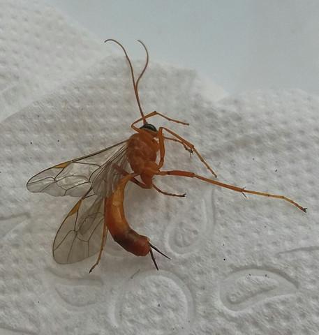Das ist das Insekt worauf meine mutter drauf getretten ist. - (Insekten, giftig oder nicht)