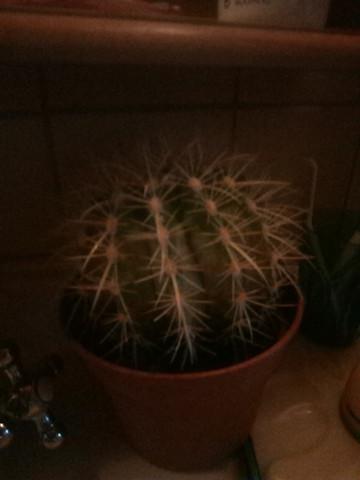 Wie  heißt diese Art von Kaktus?Und ist er ausgetrocknet? Wenn ja kann man ihn noch retten?