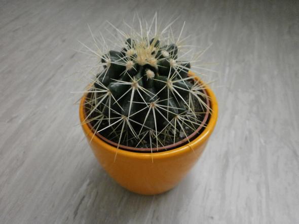 Kaktus - (Alter, Pflanzen, Art)