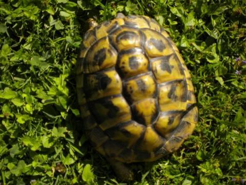 - (Tiere, Haustiere, Schildkröten)