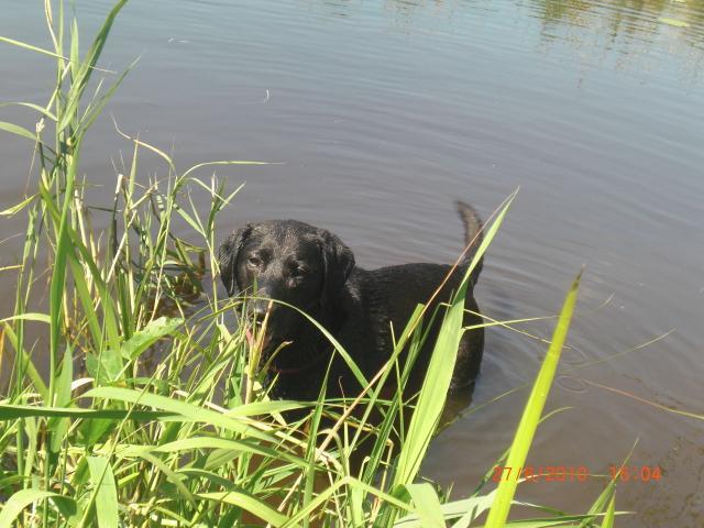 Wie Alt Werden Labradore