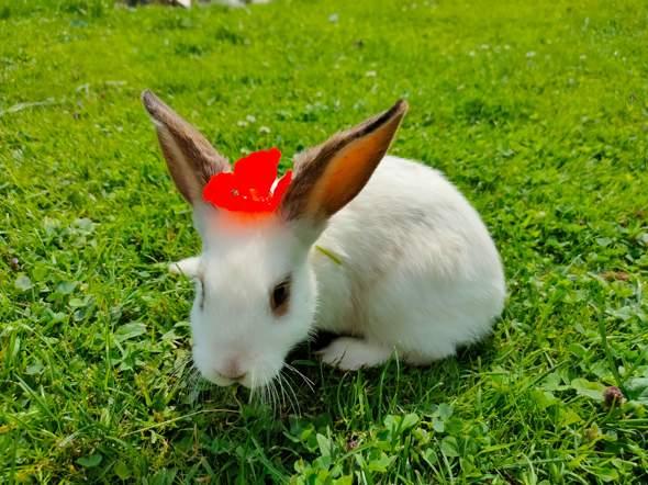 Wie groß wird mein Baby Kaninchen?