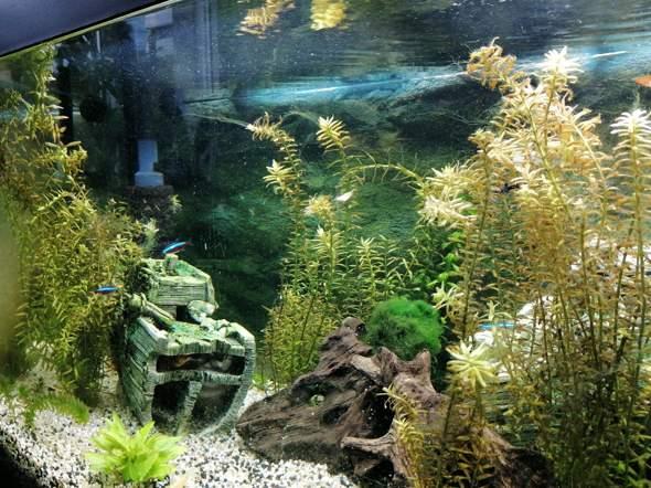 Wie Aquarium Algen loswerden?