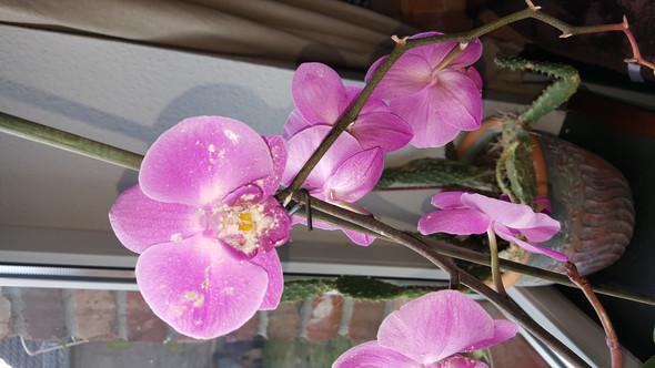 Orchidee mit Wollläuse - (Orchideen, wollläuse)