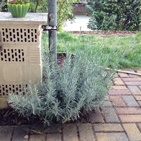Das ist ein eben aufgenommenes Bild des Lavendelstrauchs - (Garten, schneiden, Form)