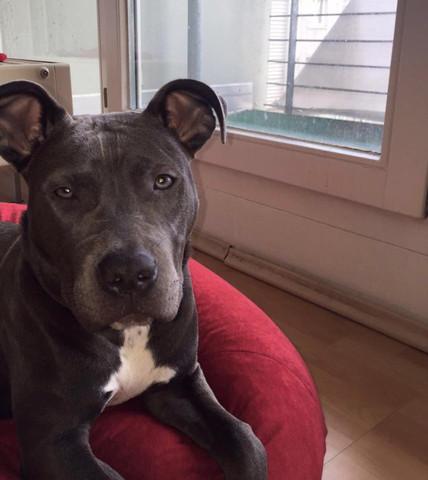 mein hund - (Tiere, Hund, pitbull)