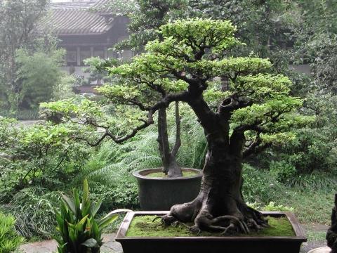 wie bringe ich meinen bonsai pflanze wieder zum bl ten pflanzen pflanzenpflege. Black Bedroom Furniture Sets. Home Design Ideas