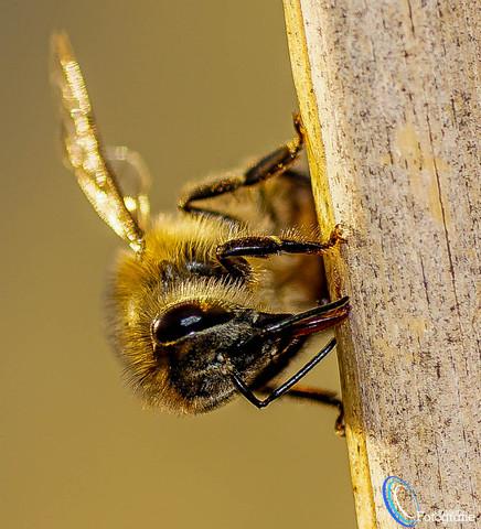 Bienen unsere Zukunft ! - (Fotografie, makro)