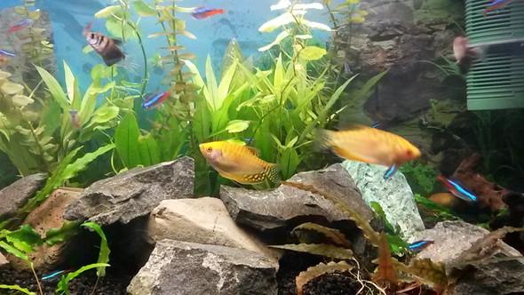 Goldfaden fische  - (Aquarium, Goldfaden fische)