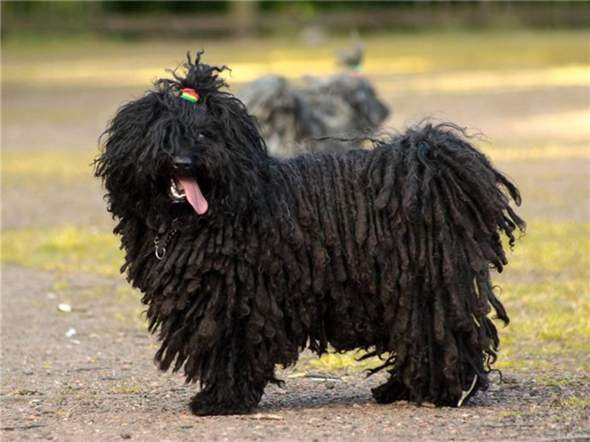 Wie findest du Hunde mit Rastalocken?