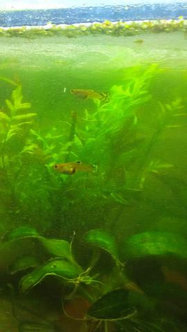 Bild 4 - (Aquaristik, guppy)