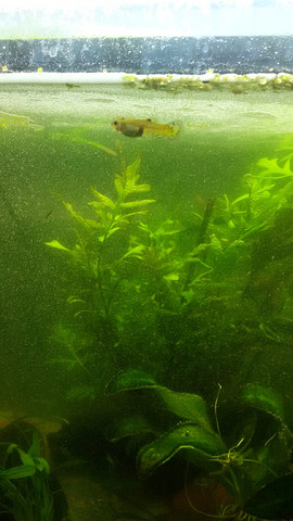 Bild 5 - (Aquaristik, guppy)