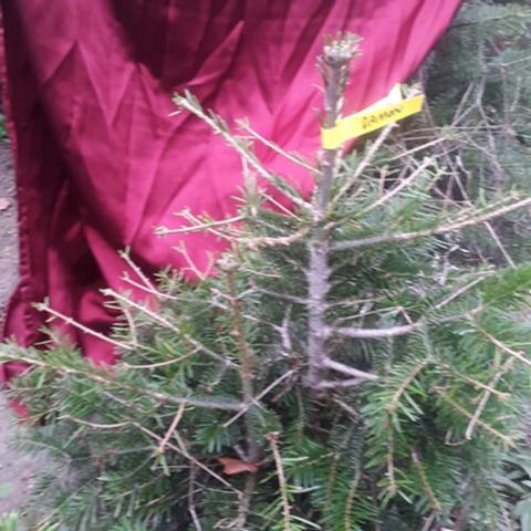 Wie findet ihr diese Idee unschöne Weihnachtsbäume (mit individuellem Namen) für den Klimaschutz zu verkaufen?