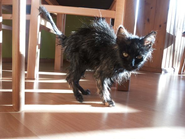 Fussel nach ihrem Bad - (Tiere, Katze, Katzen)