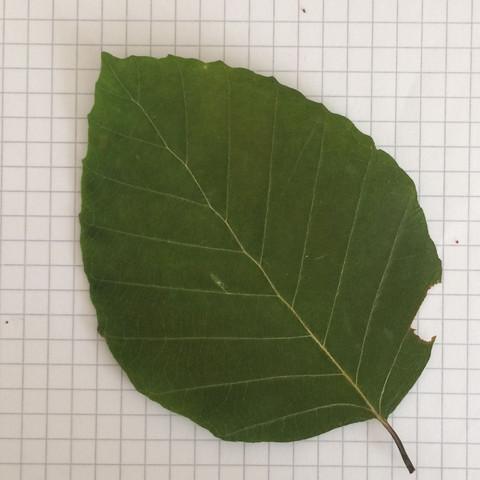 1 Baum - (Biologie, Baum, Blaetter)