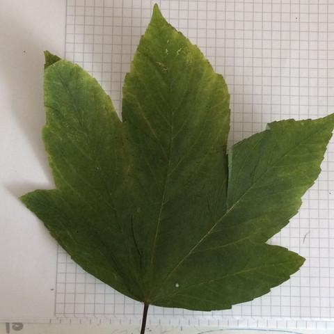 2 Baum - (Biologie, Baum, Blaetter)