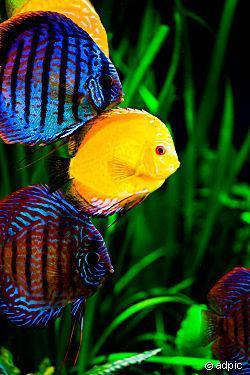 Diskus - (Fische, Diskus)