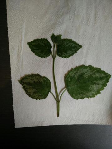 Diese Pflanze war ca. 30cm groß - (Schule, Biologie, Garten)