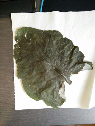 Das Blatt ist äußerst gros und sehr Wasserhaltig - (Schule, Biologie, Garten)