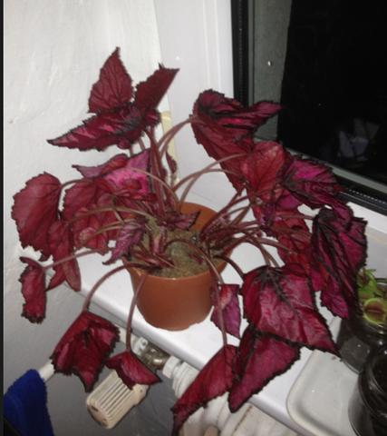 Pflanze 1 - blattbegonie? Buntnessel? - (Pflanzen, Botanik, Zimmerpflanzen)
