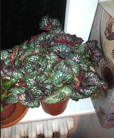 Pflanze 2 - ?! - (Pflanzen, Botanik, Zimmerpflanzen)