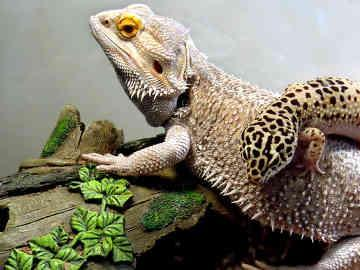 tier - (Haustiere, Reptilien)