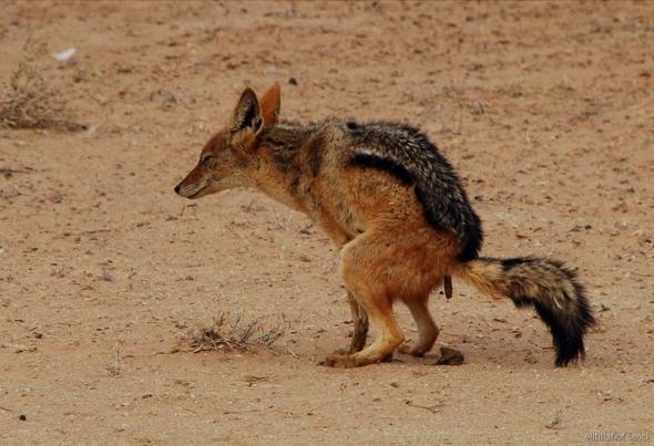 wie heißt das Tier auf Deutsch und auf Englisch?