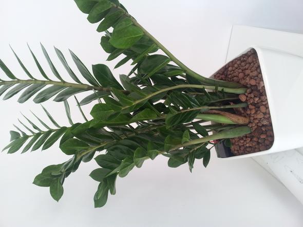 Büropflanze - (Pflanzen, Pflanzenpflege, Zimmerpflanzen)