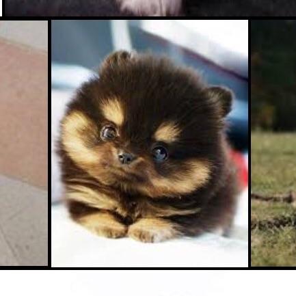 Wie Hei 223 T Die Hunderasse Von Dem Kleinem Hund Siehe Bild