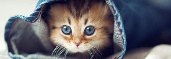 Katze Vor Dem Fernseher Bild: Wie Heißt Die Katze Auf Dem Bild? (Rasse
