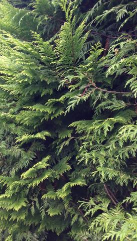 Wie heißt die Pflanze? Strauch. Ist es eine Zeder oder wie nennt sie sich?