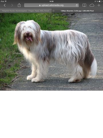 Hunderasse  - (Tiere, Hund)