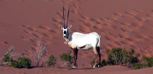 Wie heißt diese Antilopenart ? - (Tiere, Tierart)