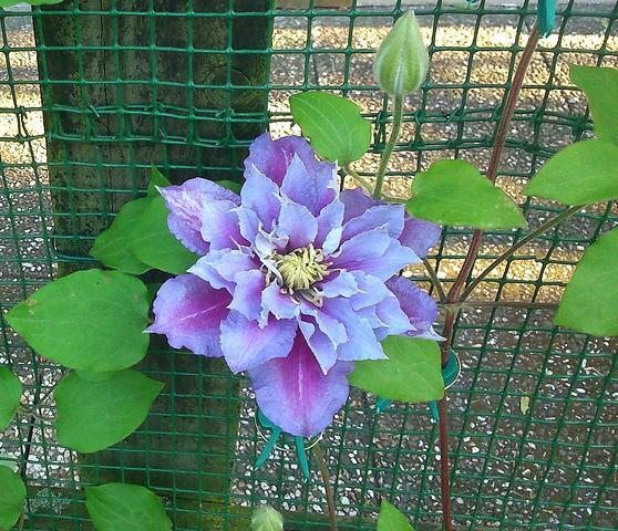 Wie heißt diese Blume? Wer kennt sie?