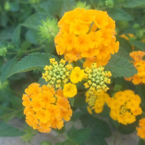 Weiteres Foto der Blume/Pflanze - (Blumen, Schmetterling, Bestimmung)