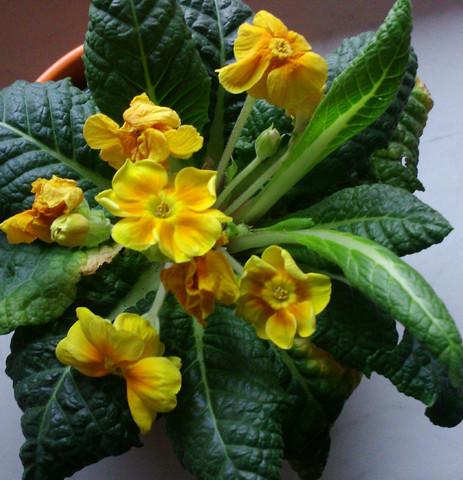 Wie heißt diese gelbe Zimmerpflanze?