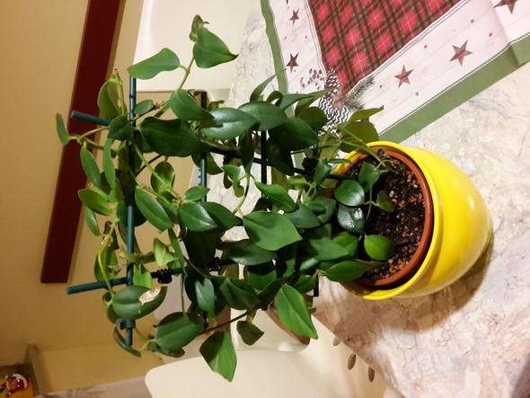 Wie heißt diese grüne Zimmerpflanze?