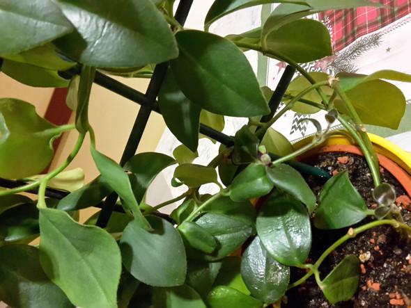 Wie Heisst Diese Grune Zimmerpflanze Pflanzen Zimmerpflanzen
