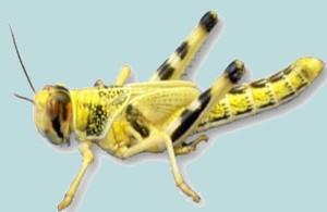 Heuschrecke - (Tiere, Insekten, Art)