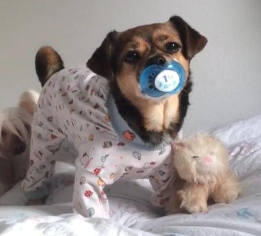 Bild - (Hund, Hunderasse)