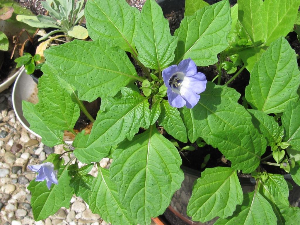 wie heisst diese pflanze mit lila bl ten pflanzen botanik